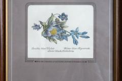 Hachleova-hyacint